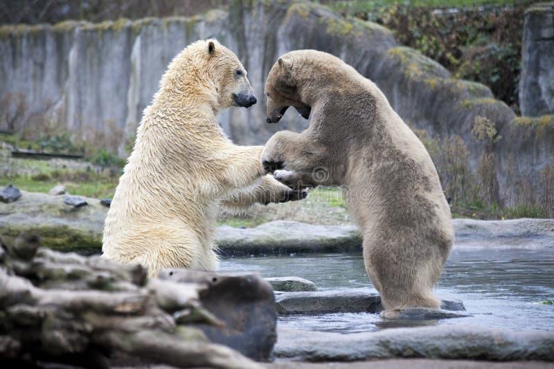 Dwa niedźwiedzi polarnych męska walka i kąsek Niedźwiedzie polarni zamykają up Alaska, niedźwiedź polarny Duży biały niedźwiedź w zdjęcie royalty free