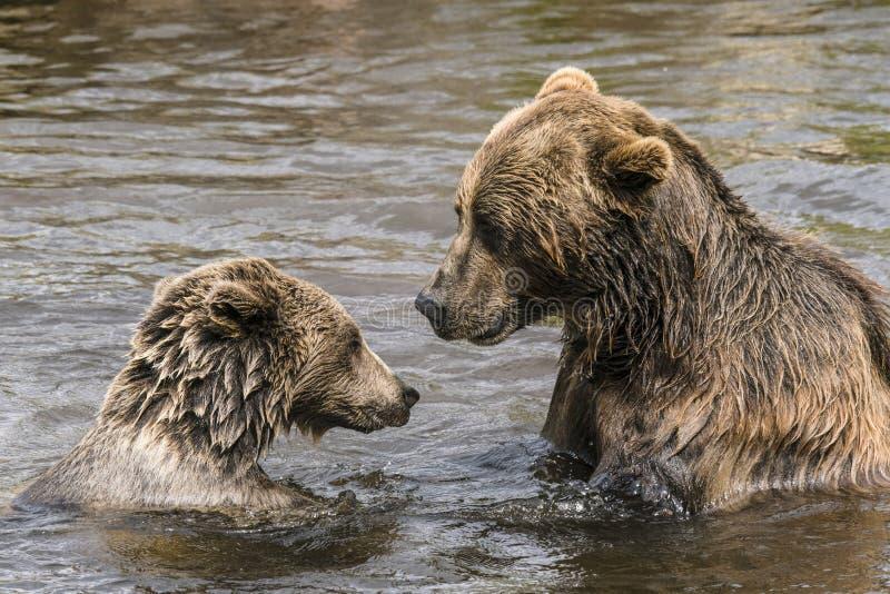 Dwa niedźwiedzia ma poważną rozmowę zdjęcia royalty free