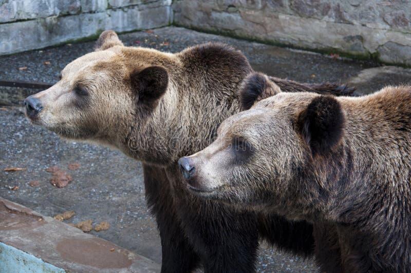 dwa niedźwiedzie zdjęcie stock