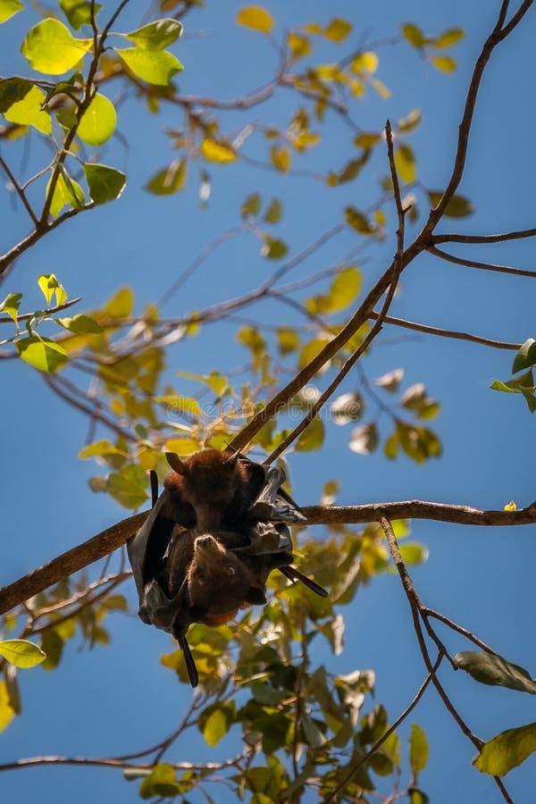 Dwa nietoperza wiszącego w gumowym drzewie przy Katherine wąwozem wpólnie, Australia obrazy royalty free