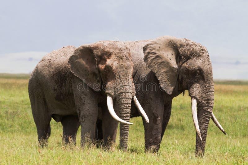Dwa ogromnego słonia wśrodku krateru Ngorongoro Tanzania, Afryka fotografia stock
