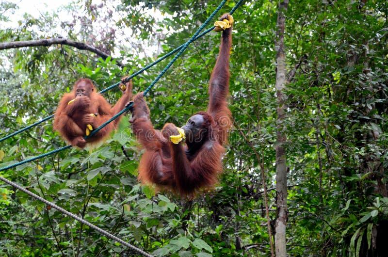 Dwa orang małpy utan małpy na arkanach z bananami przy rezerwatem przyrodym Kuching Sarawak Malezja zdjęcie stock