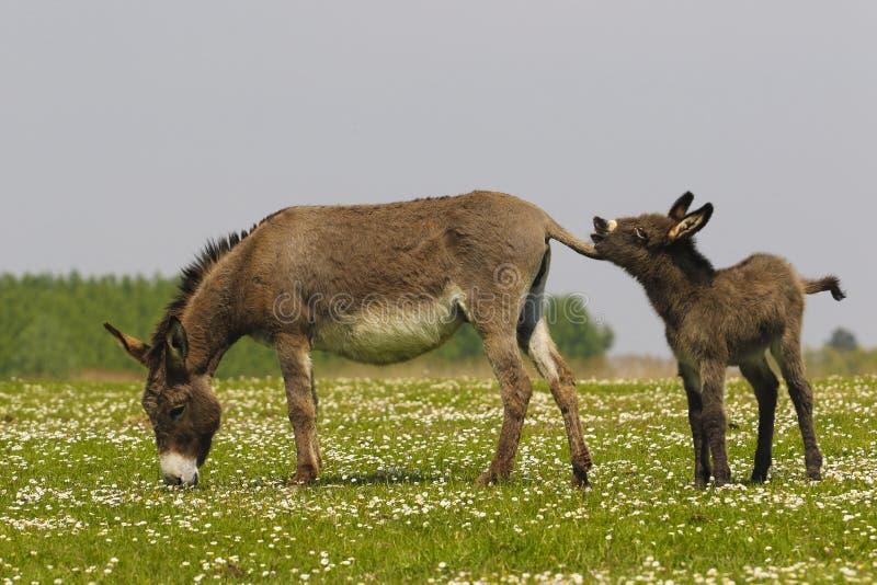 Dwa osła na łące obrazy royalty free