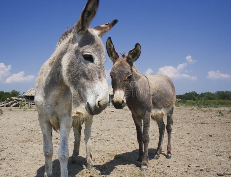 Dwa osła na starym gospodarstwie rolnym fotografia royalty free