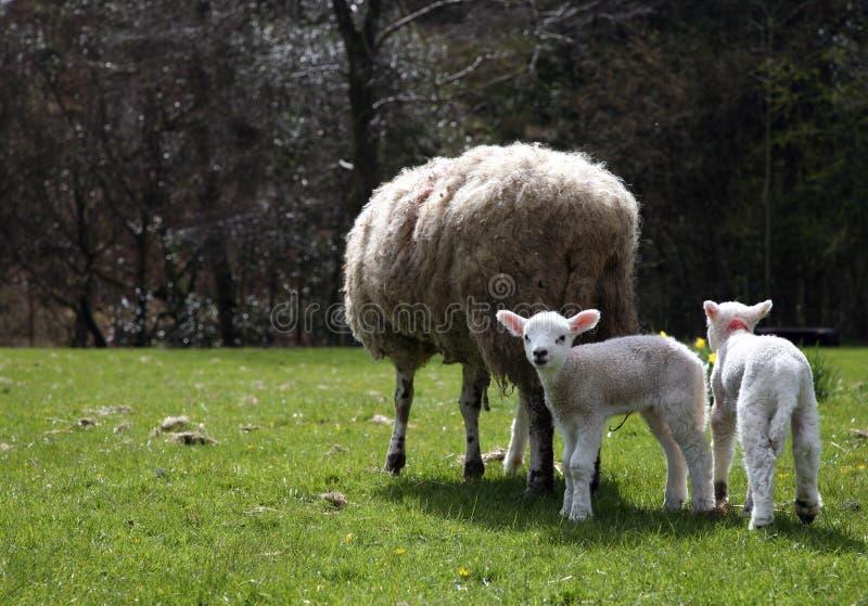 dwa owieczki obrazy stock