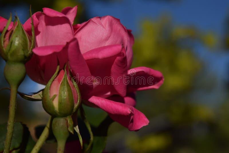 Dwa pączka i trzy czerwieni róży kwiatu zdjęcia stock