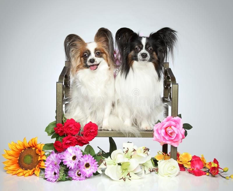 Dwa Papillon psa z kwiatami zdjęcia stock