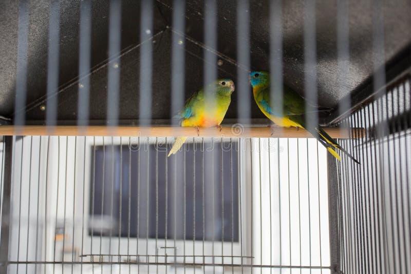 Dwa papugi W klatce, kolorowi miłość ptaki, zwierzęta domowe zdjęcie royalty free