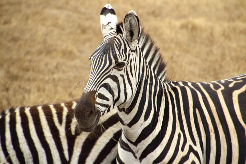 Dwa pasiastej zebry w sawannie zdjęcie royalty free