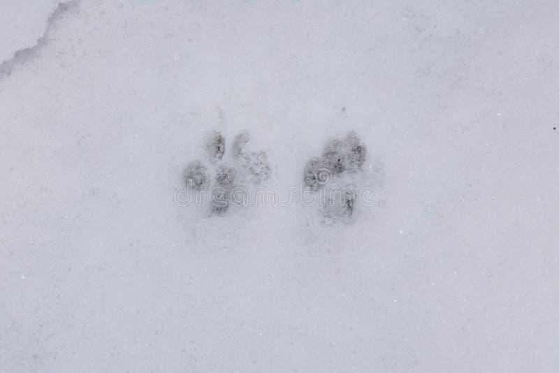 Dwa pawprints w śniegu obrazy stock