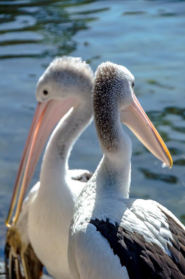 Dwa pelikana cieszy się gorącego słonecznego dzień na banku jezioro obraz royalty free