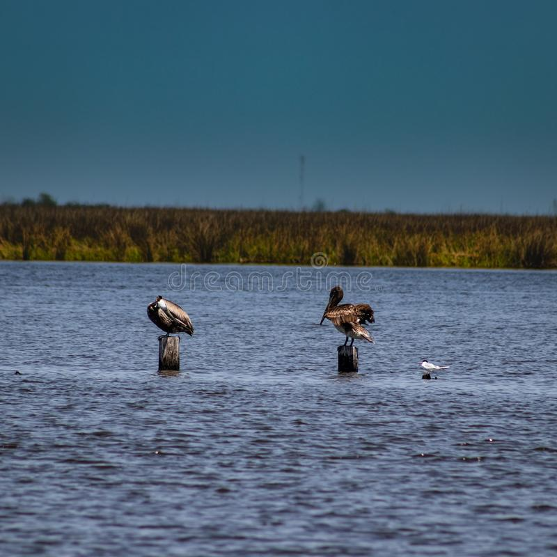 Dwa pelikana na poczta zdjęcie royalty free