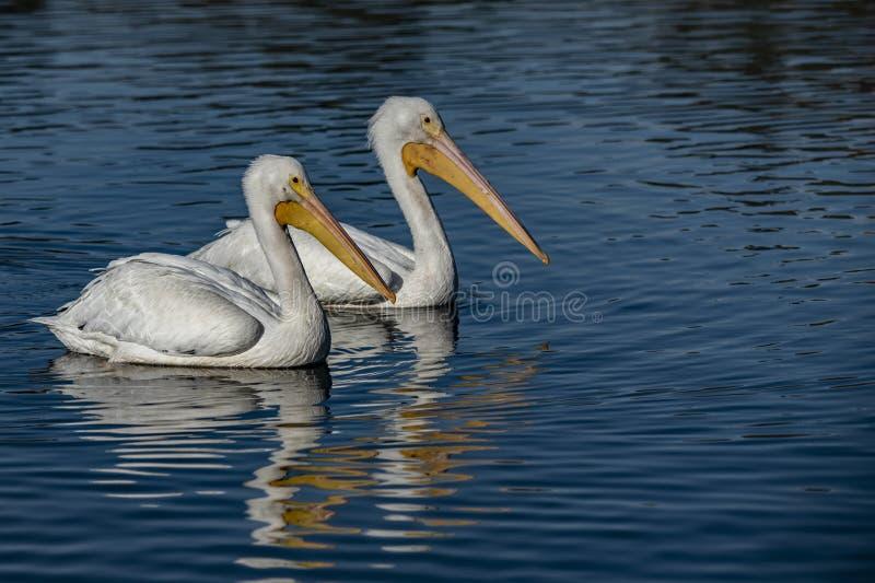 Dwa pelikany nad jeziorem La Pas zdjęcia stock