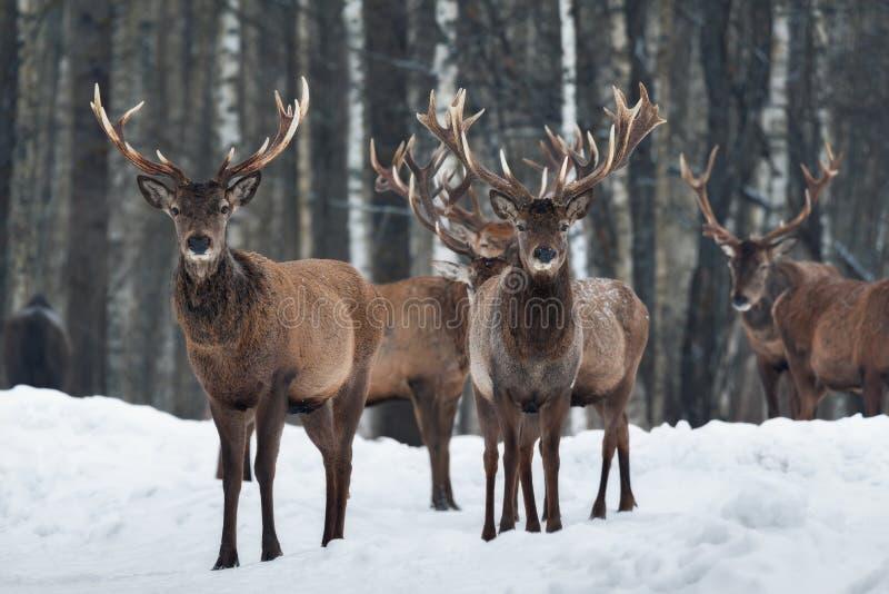 Dwa Pięknego Ciekawego trofeum Jeleni jeleń w górę, Otaczający stadem Zimy przyrody Bożenarodzeniowy krajobraz Z Jelenim Cervus E fotografia royalty free