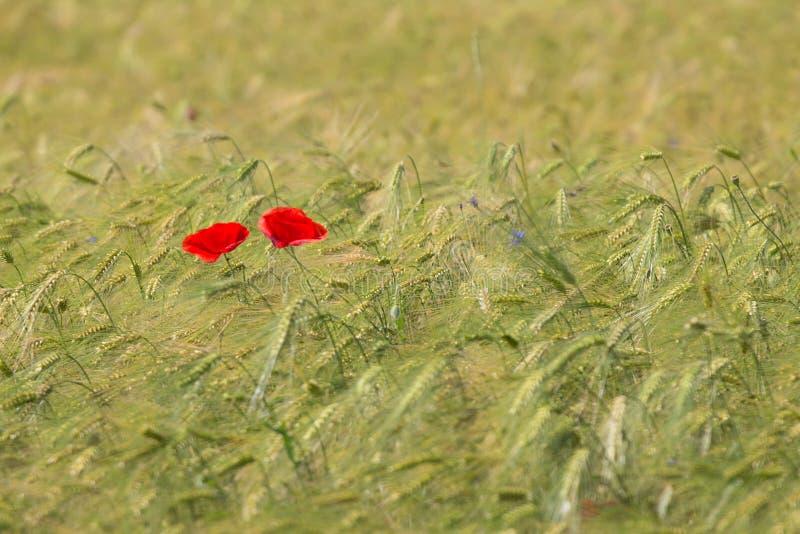 Dwa pięknego czerwonego maczka w zielonym pszenicznym polu w lecie zdjęcia stock