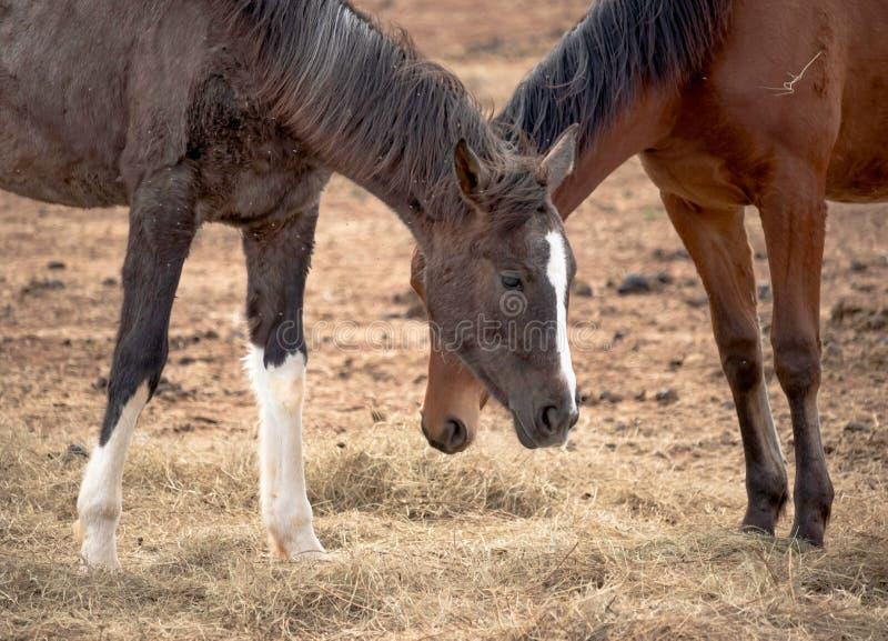 Dwa pięknego konia pasają w polu, jedzą siano, stojak blisko do each inny fotografia royalty free