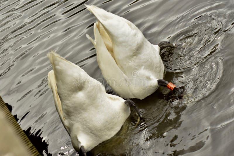 Dwa pięknego nurkowego białego łabędź fotografia royalty free