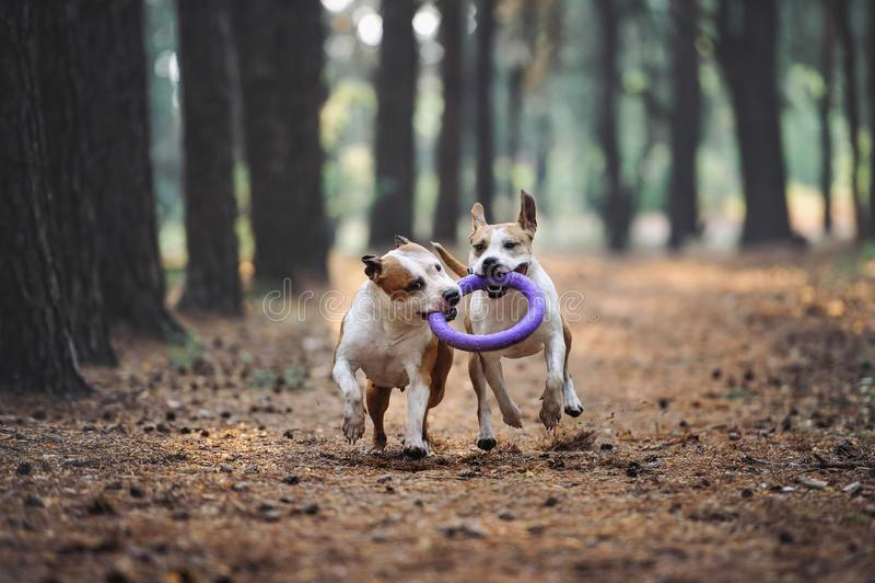 Dwa pięknego psa bawić się wpólnie i niosą zabawkę właściciel Aport wykonywał Amerykańskiego Staffordshire terierami obrazy royalty free