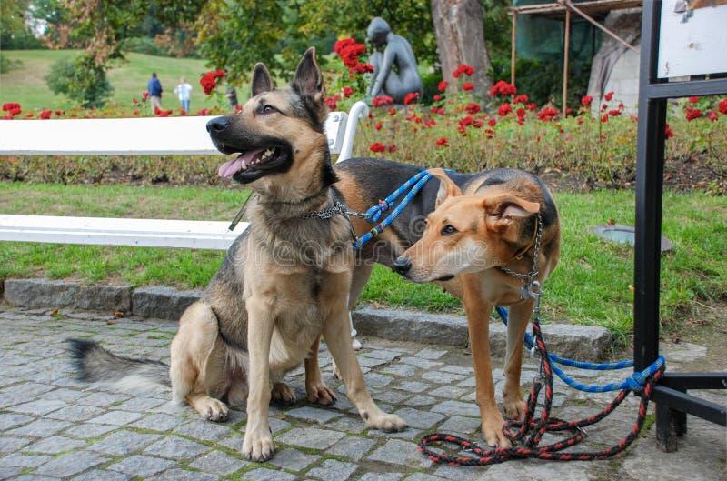Dwa pięknego psa przy ogródami Cesky Krumlov roszują obraz stock