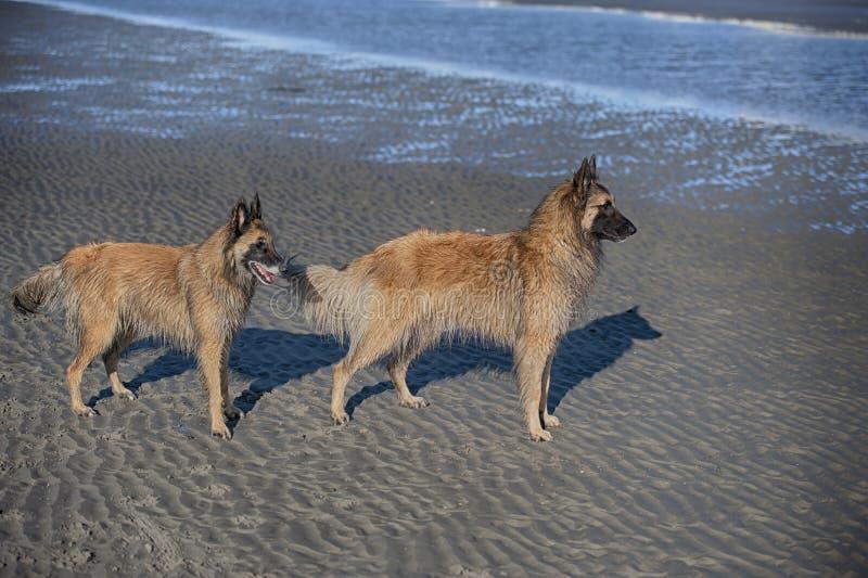 Dwa pięknego purebred psa stoi na piasek plaży obraz royalty free