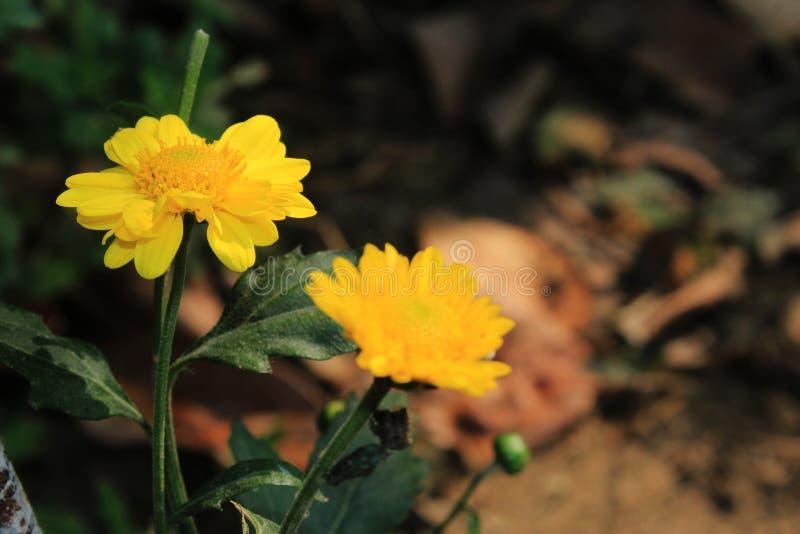 Dwa pięknego stokrotka kwiatu kwitnie w ogródzie z defocused lub bokeh tłem Odbitkowa przestrzeń dla teksta lub słowa obraz stock