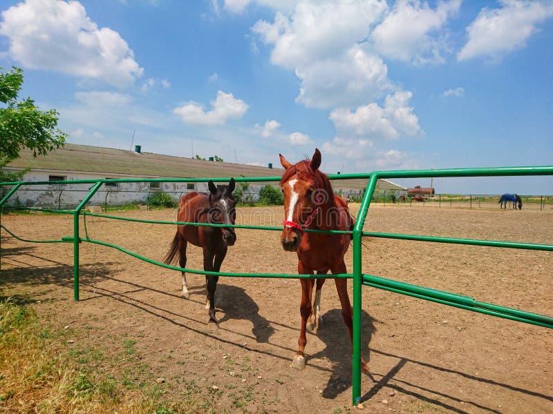 Dwa pięknego thoroughbred konia chodzą na gospodarstwie rolnym przeciw niebieskiemu niebu obrazy stock