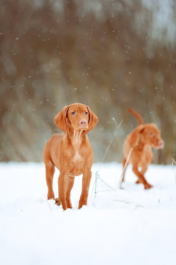 Dwa pięknego visla czerwieni psa w zimie zdjęcie royalty free