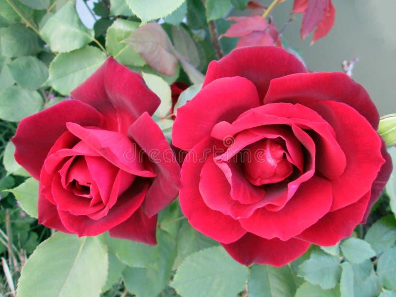 Dwa pięknej czerwonej róży z velvety płatkami fotografia stock