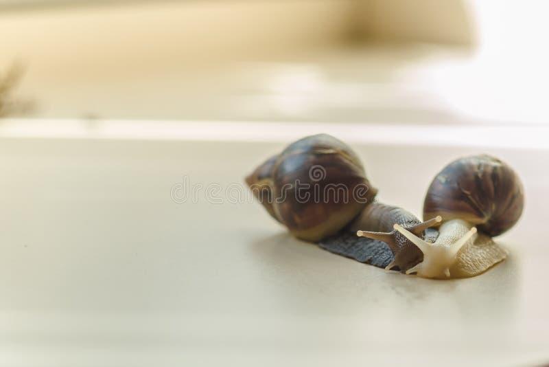 Dwa piękny brąz Achatina z ślimakowatym skorupy czołganiem na lekkim stole na słonecznym dniu z kopii przestrzenią i biel ekstrem obraz stock