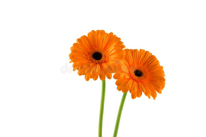 Dwa piękny pomarańczowy gerbera na białym tle obrazy stock