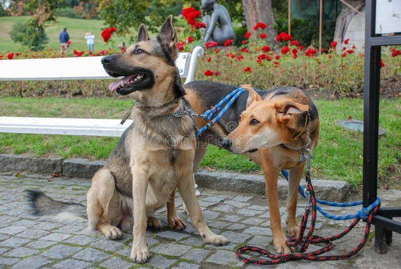 Dwa pi?knego psa przy ogr?dami Cesky Krumlov roszuj? zdjęcie royalty free
