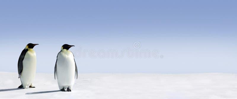 dwa pingwiny panorama obraz royalty free