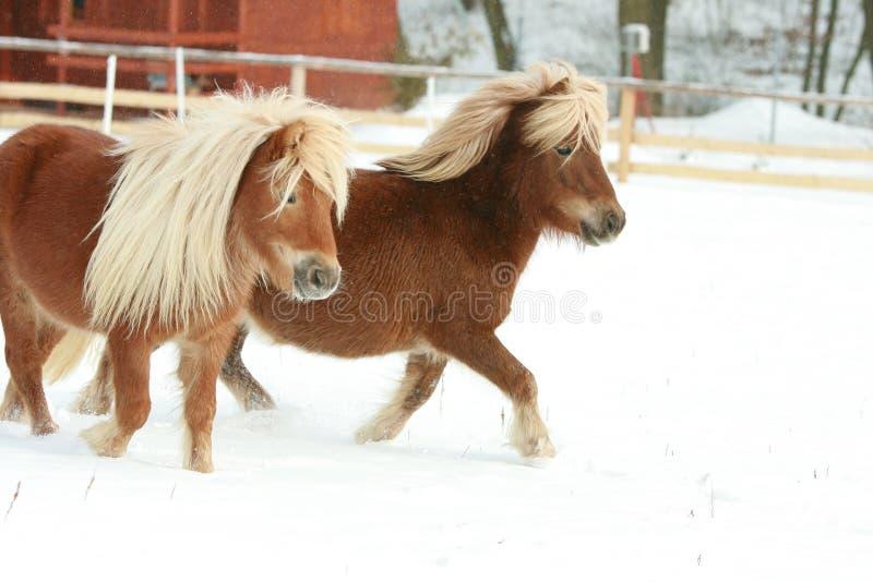 Dwa ponnies z długim grzywa bieg w zimie zdjęcia royalty free