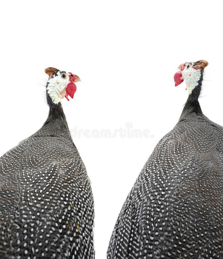Dwa portretów gwinei ptactwo obraz stock