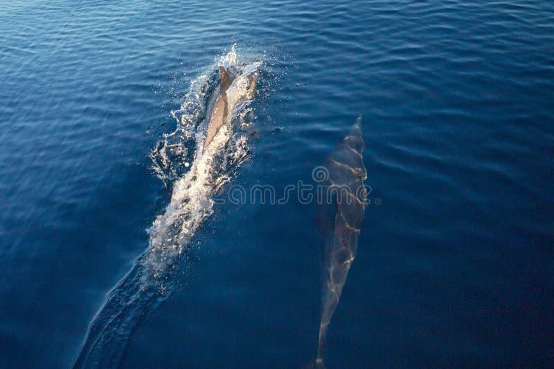 Dwa pospolitego butelka nosa delfinu w oceanie spokojnym między Santa Barbara i channel islands w Kalifornia usa obraz royalty free