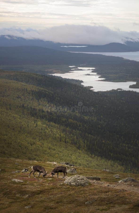 Dwa potomstw męski renifer ćwiczy ich walkę z oszałamiająco jeziora i lasu krajobrazowym tłem fotografia royalty free