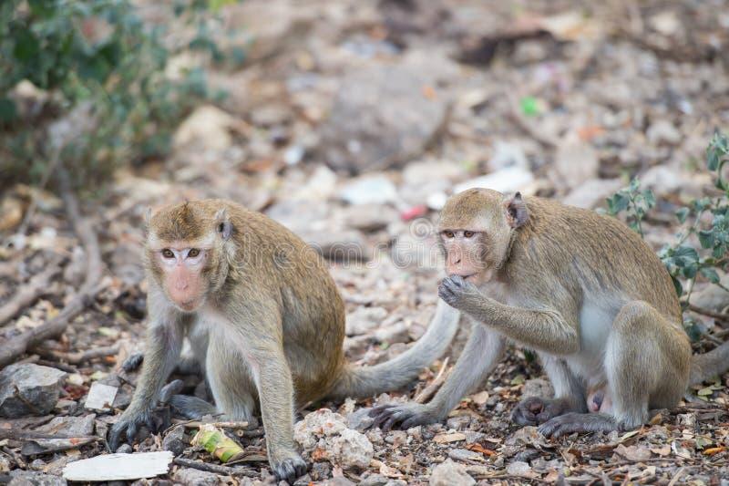 Dwa potomstw Thailand małpa je niektóre jedzenie na podłoga obrazy royalty free