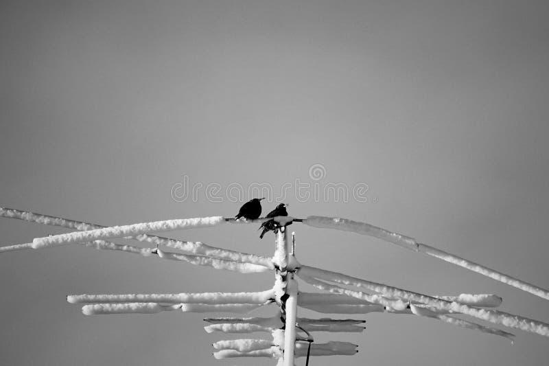 Dwa przyjaciół flighty żerdź po zimy burzy zdjęcia royalty free