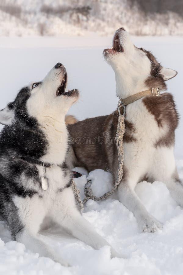 Dwa psów łuskowaty wycie z ich twarzami w górę Syberyjscy husky są prześladowanym ie na śnieżnym śpiewie i płaczu zdjęcia royalty free