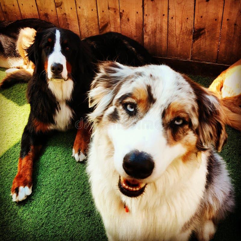 Dwa psów góry psa australijczyka berniese shepard zdjęcie stock