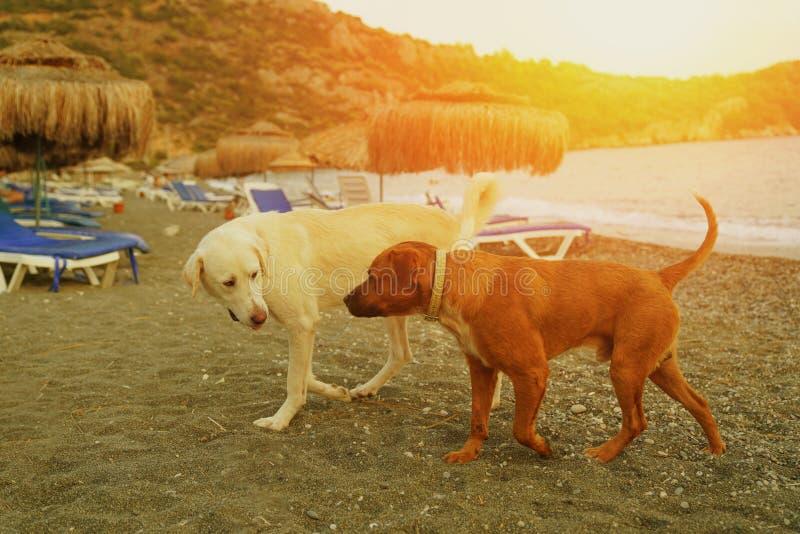 Dwa psów spacer w plaży zdjęcia royalty free