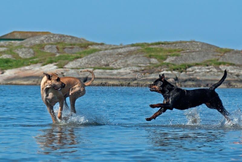 Dwa psów wielka sztuka na plaży obraz stock