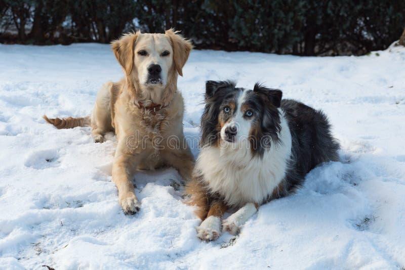 Dwa psa, australijskiej baca i golden retriever kłama w śniegu, zdjęcia royalty free