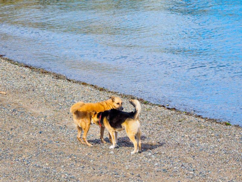 Dwa psa bawić się na plaży blisko wodnej krawędzi fotografia stock