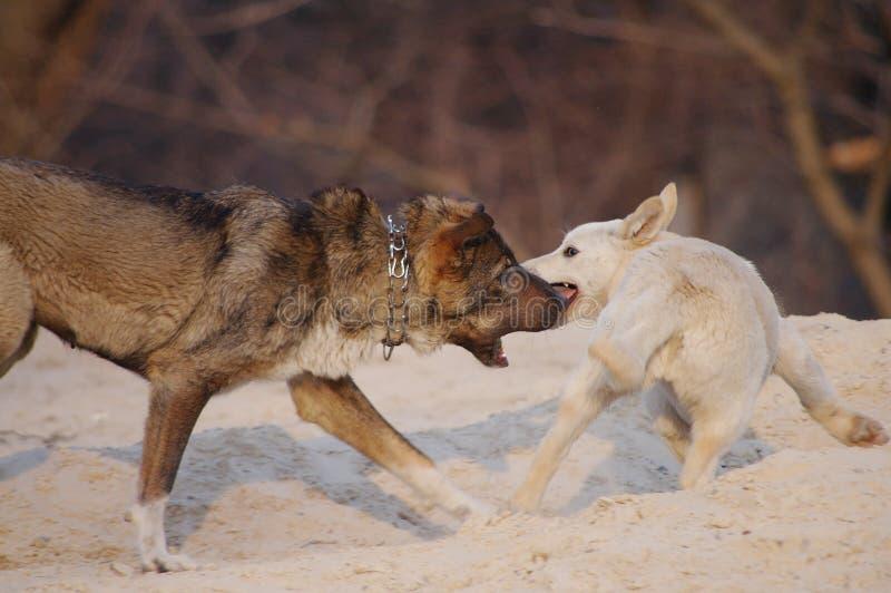 Dwa psa bawić się w piasku, biegają po each inny, gryźć ogon zdjęcie stock
