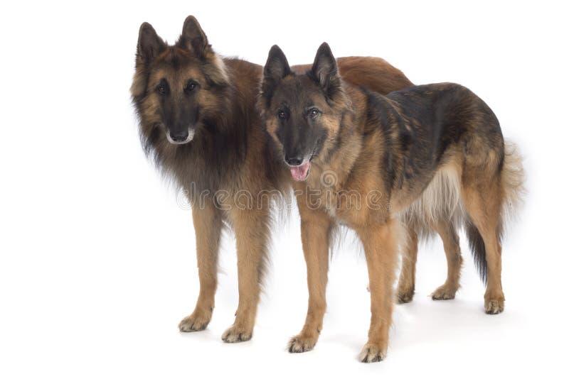 Dwa psa, Belgijska baca Tervuren, pozycja, odizolowywający zdjęcie royalty free