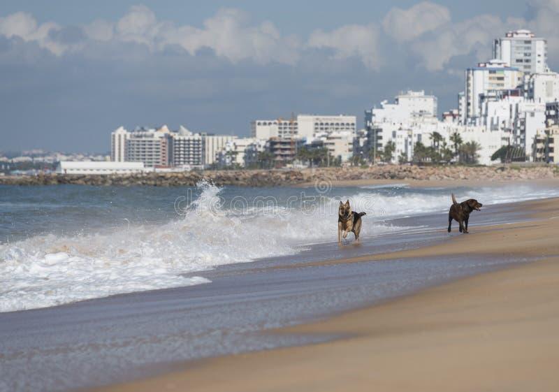 Dwa psa biega przy plażą obraz stock