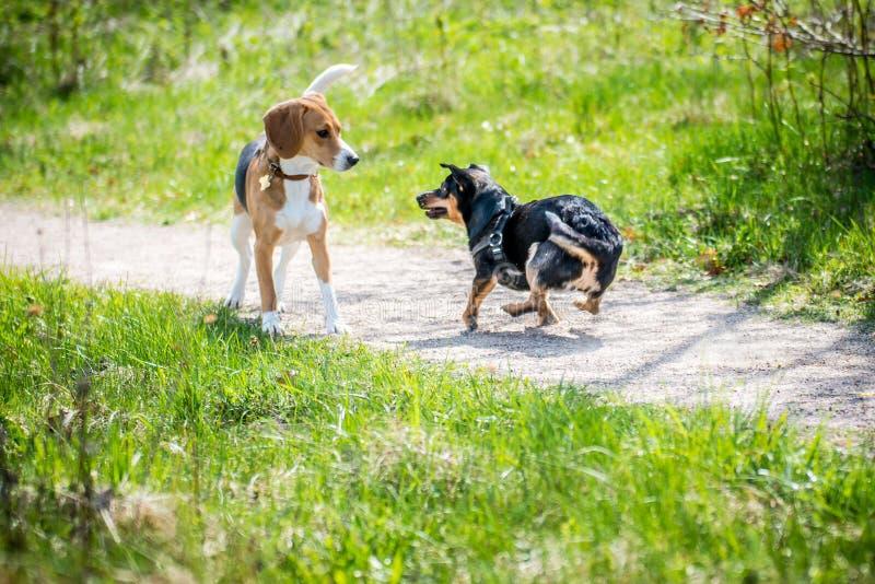 Dwa psa dostają znajomość obraz stock
