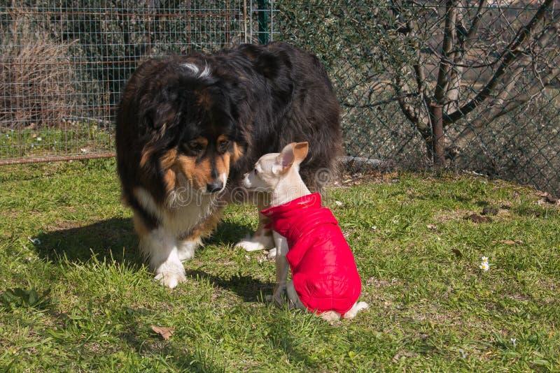 Dwa psa komunikuje z oczami zdjęcia stock