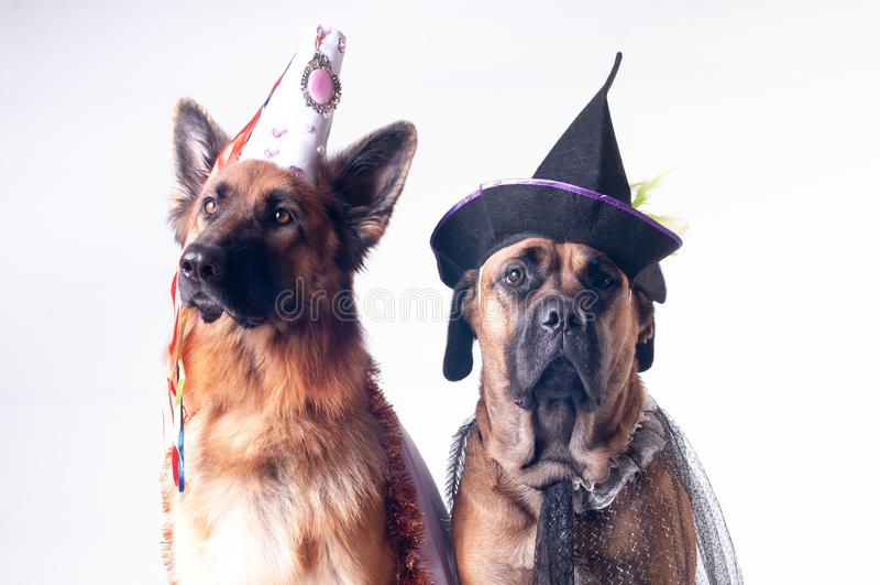 Dwa psa na białym tle w kostiumach obraz royalty free